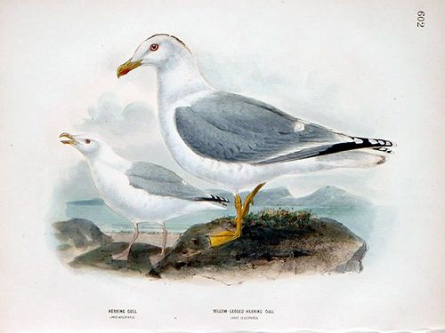 Dresser Birds of Europe Herring Gull Lithograph Print