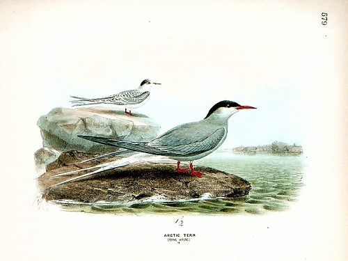 Dresser Birds of Europe Arctic Tern Lithograph Print