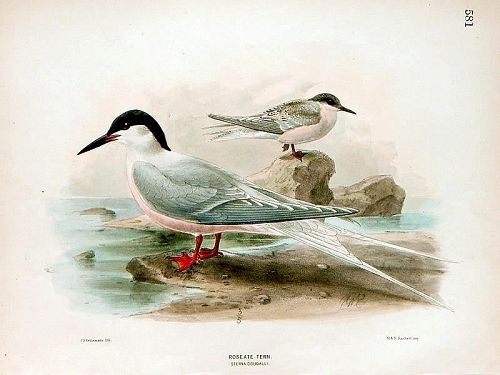 Dresser Birds of Europe Roseate Tern Lithograph Print